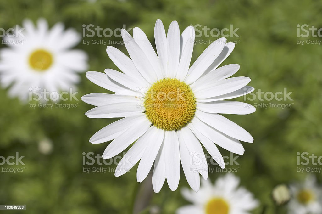 White ox-eye daisy in a field close up stock photo