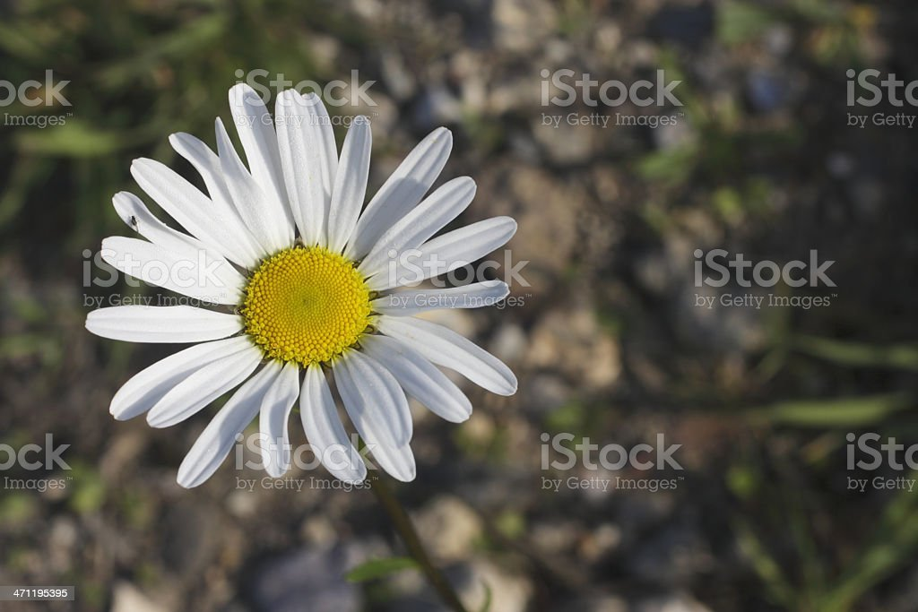 Ox-eye daisy close up copy space stock photo