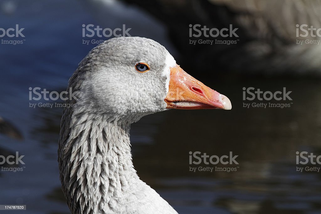 Profile of domesticated greylag goose Anser stock photo