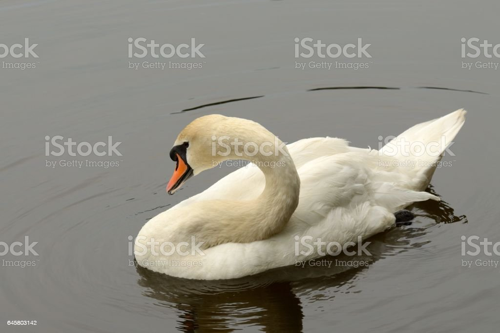 This graceful bird on the lake. stock photo