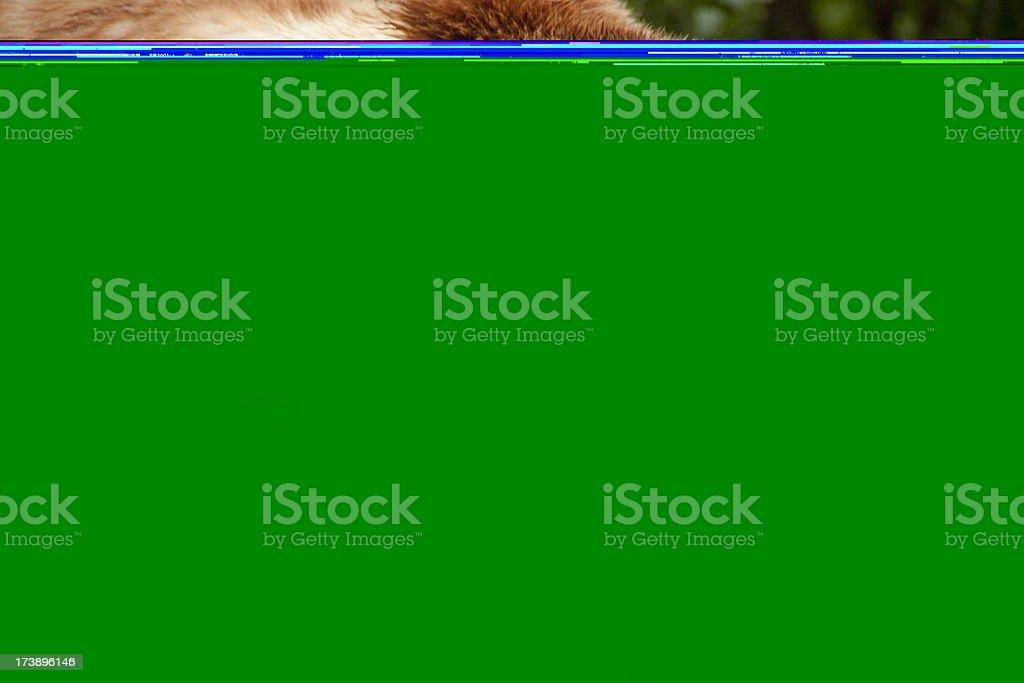 Cet ours Grizzly pauses pour un look exceptionnel. photo libre de droits
