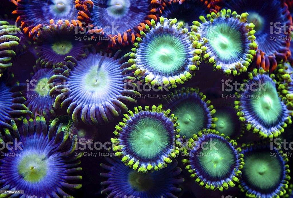 This is a colony of zoanthid corals stock photo