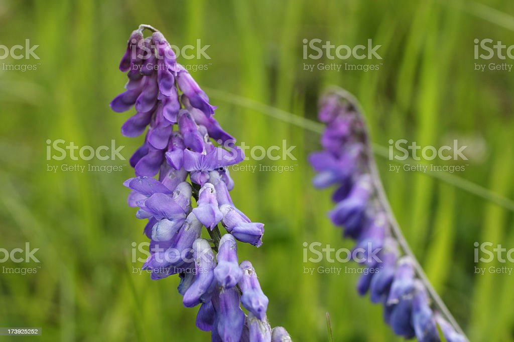 Purple flowers of tufted vetch Vicia cracca stock photo