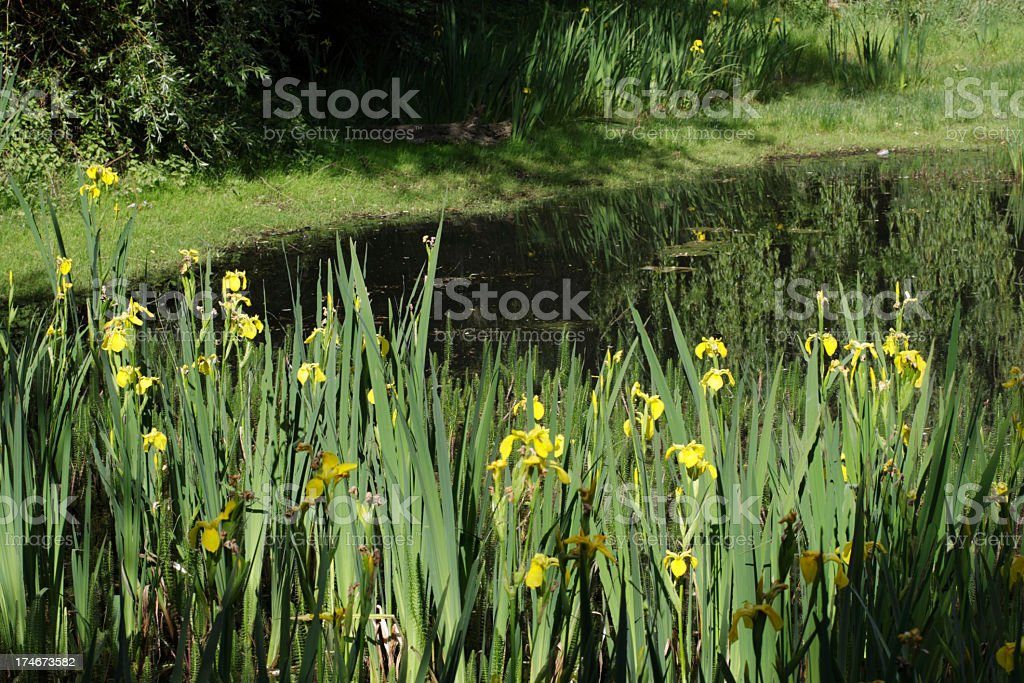 Pond with yellow flag irises in a small nature reserve stock photo