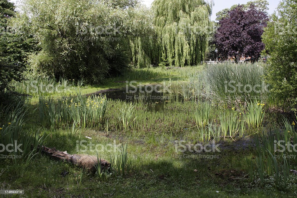 Pond with yellow flag irises in small nature reserve stock photo