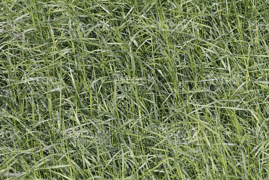 Long green grass textured background stock photo