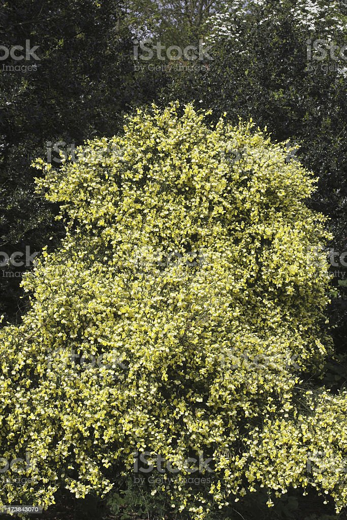 Scotch broom Cytisus scoparius bush garden variety stock photo