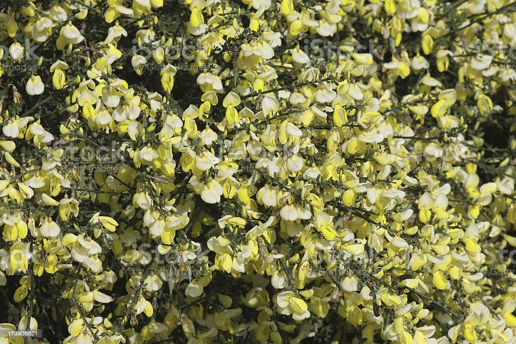 Flowers of Scotch broom Cytisus scoparius in close up stock photo