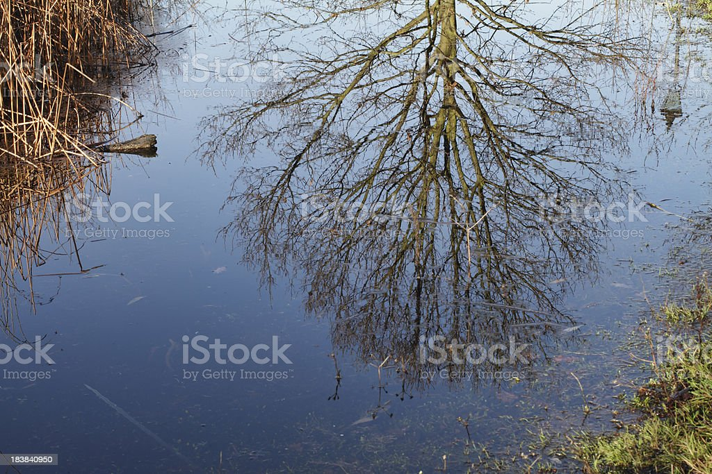 Sunny spring tree reflected in blue pond water stock photo