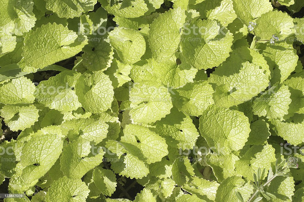 Young leaves of garlic mustard Jack-by-the-hedge Alliaria petiolata stock photo
