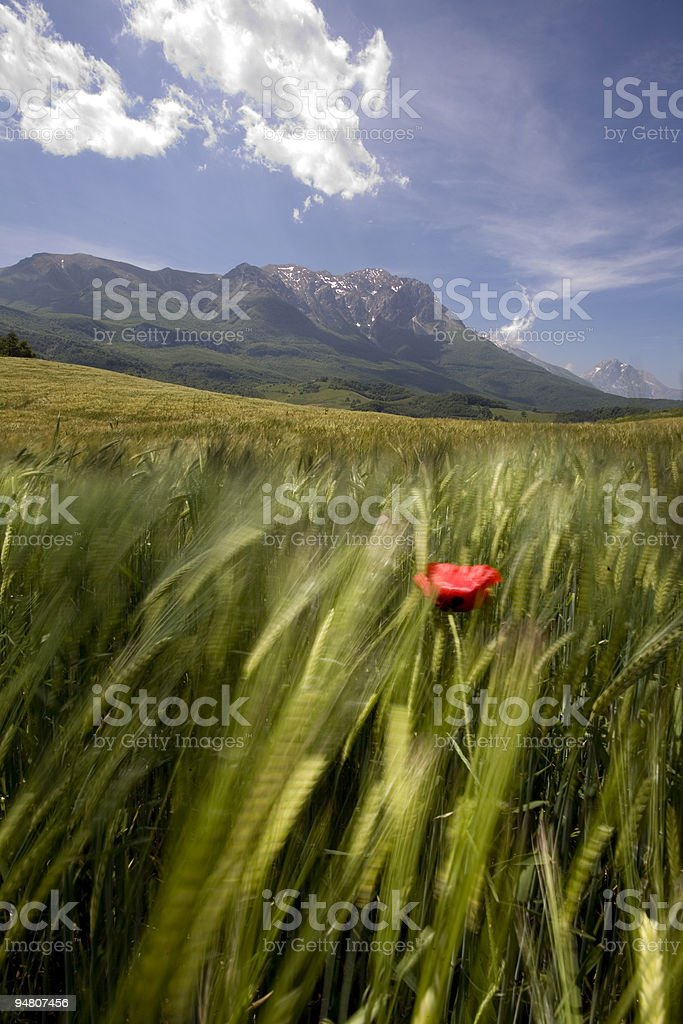 this is my country - wheat field royalty-free stock photo