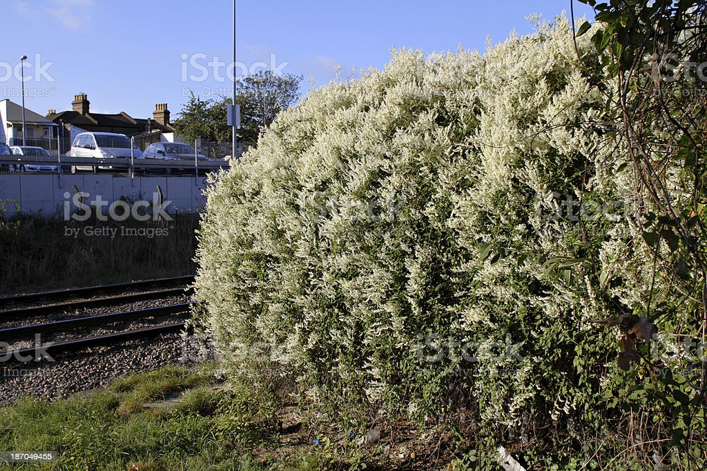Russian vine Fallopia baldschuanica smothers others stock photo