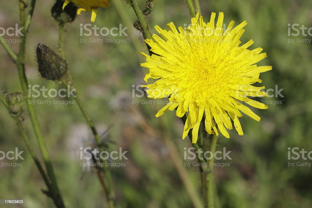Perennial sowthistle Sonchus arvensis yellow flower thistle stock photo