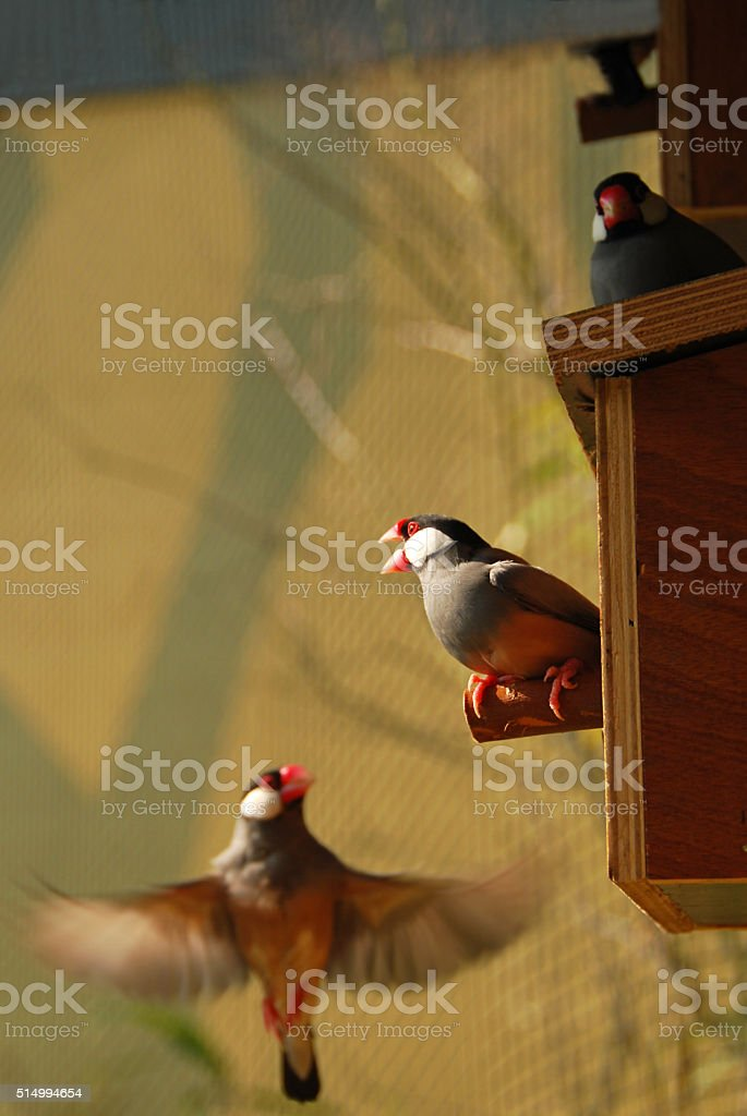 This Java sparrow is defending the bird nest. stock photo