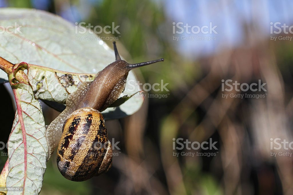 Garden snail Helix aspersa coming out of its shell royalty-free stock photo