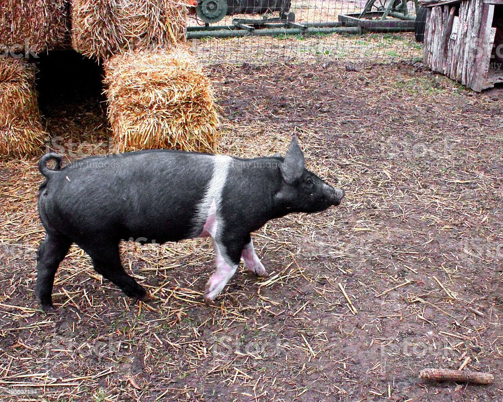 This little piggy on the farm stock photo