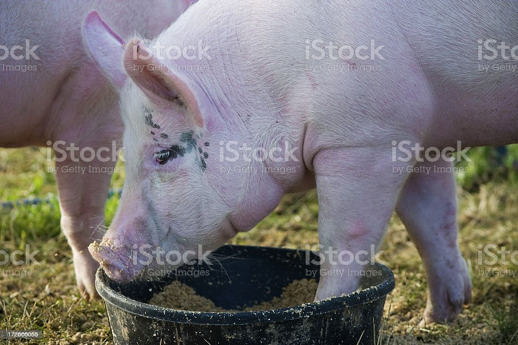 this little piggy royalty-free stock photo