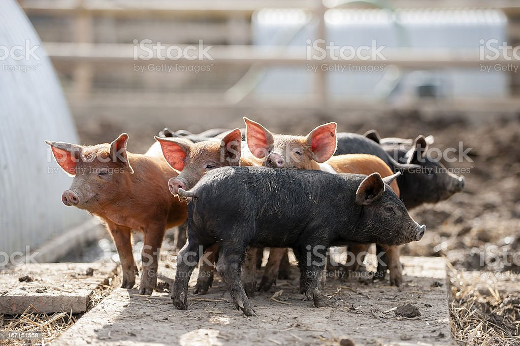 This little piggy went to market royalty-free stock photo
