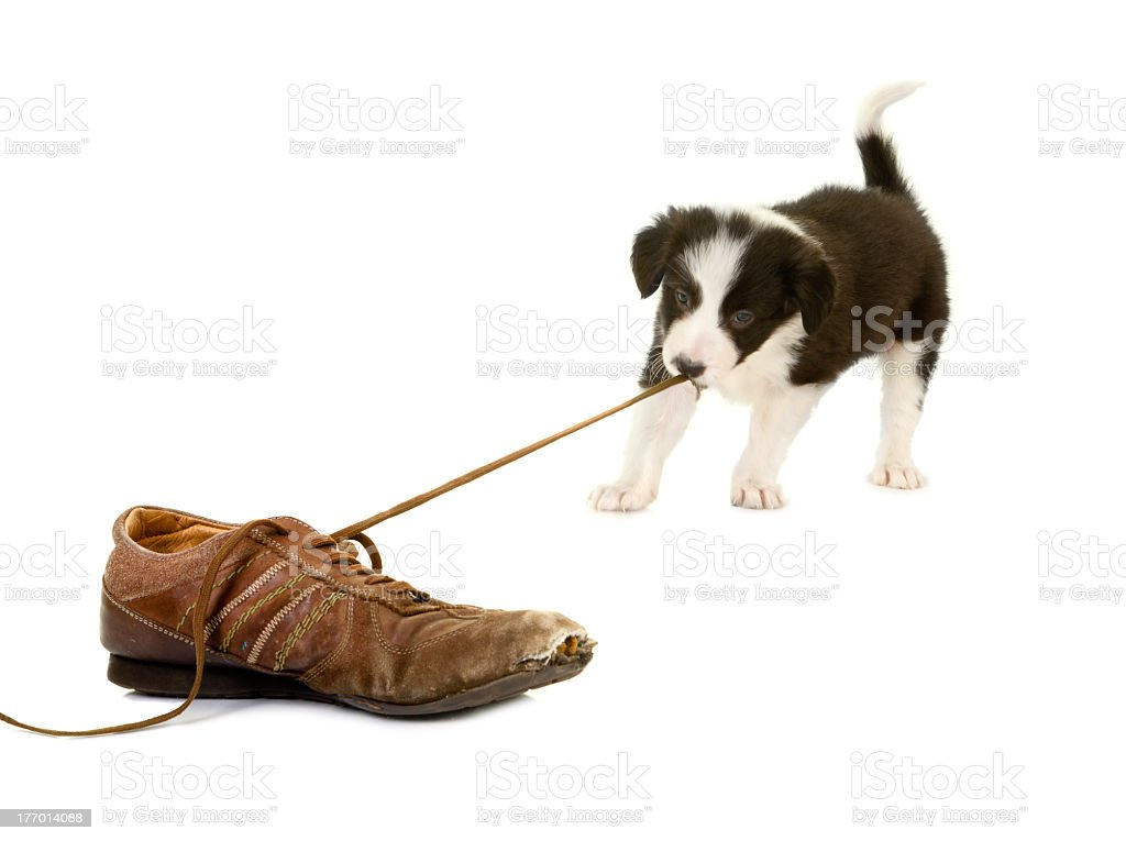 This little puppy is busy pulling on its' owner's shoe lace  stock photo