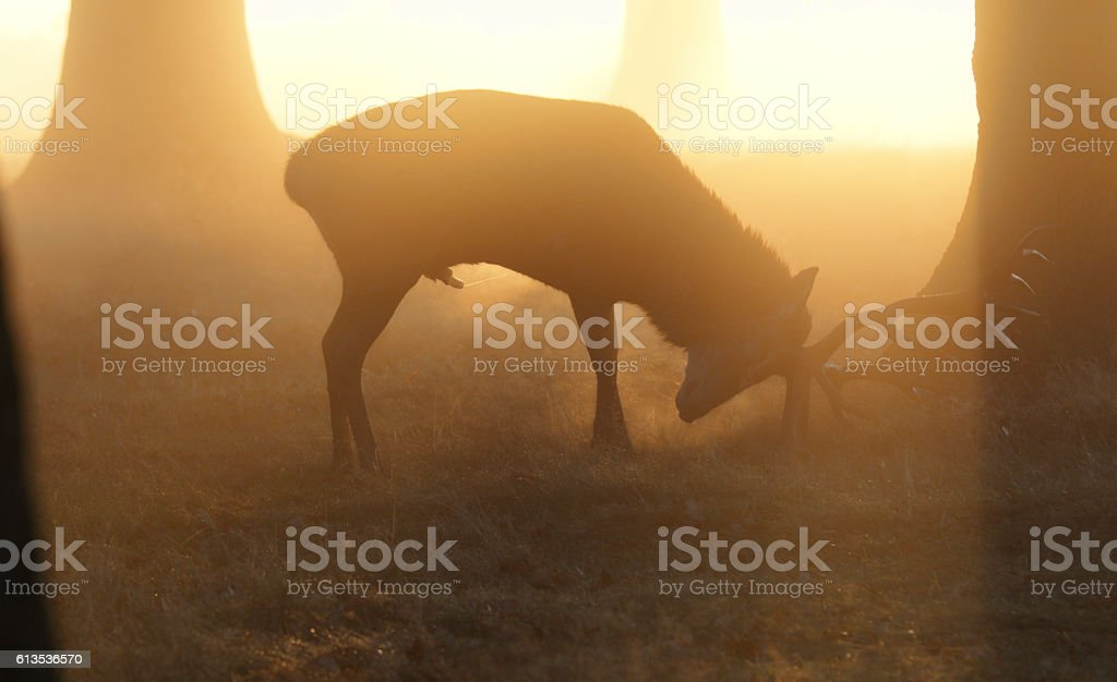 Self-anointing with urine spray red deer stag stock photo