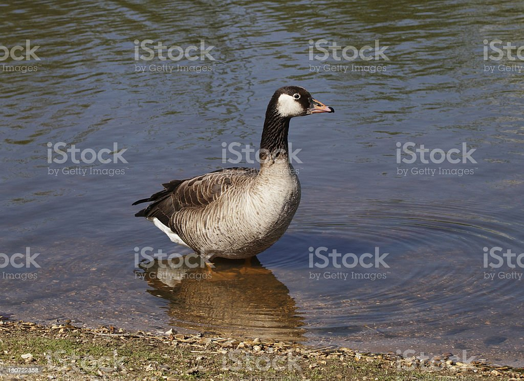 Hybrid goose Canada and greylag cross stock photo