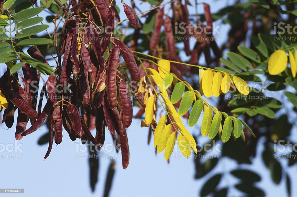 Honey locust tree with hanging seed pods royalty-free stock photo