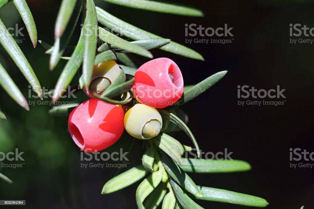 Red yew berries Taxus baccata with evergreen needles stock photo