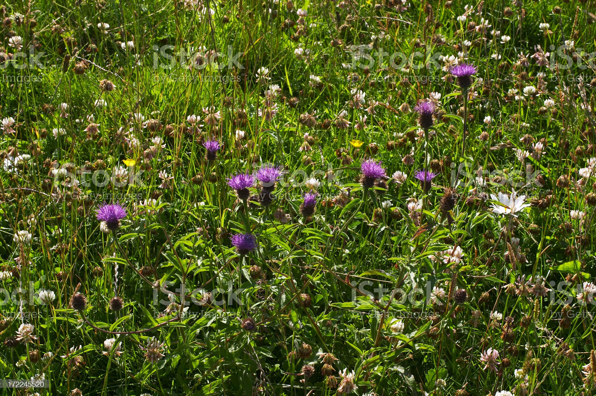 English summer meadow with purple and white wild flowers royalty-free stock photo