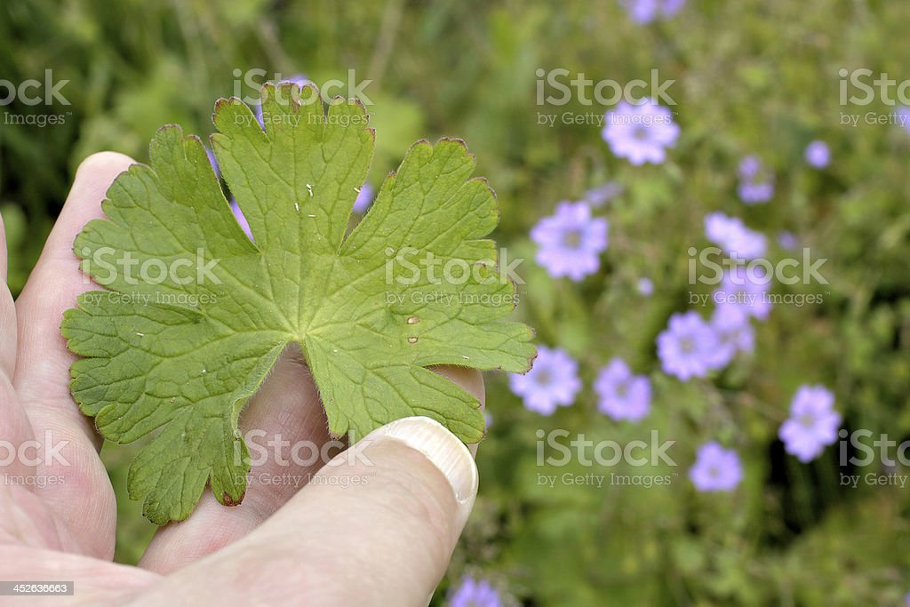 Dovesfoot cranesbill Geranium molle leaf held in fingers stock photo
