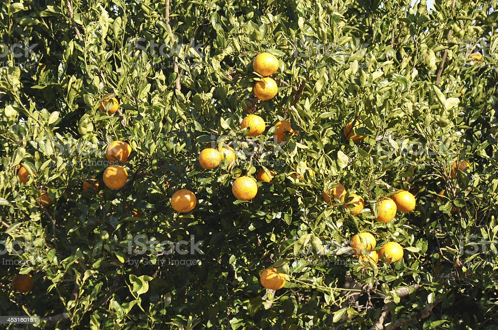 This tree is full of oranges ready to eat. stock photo