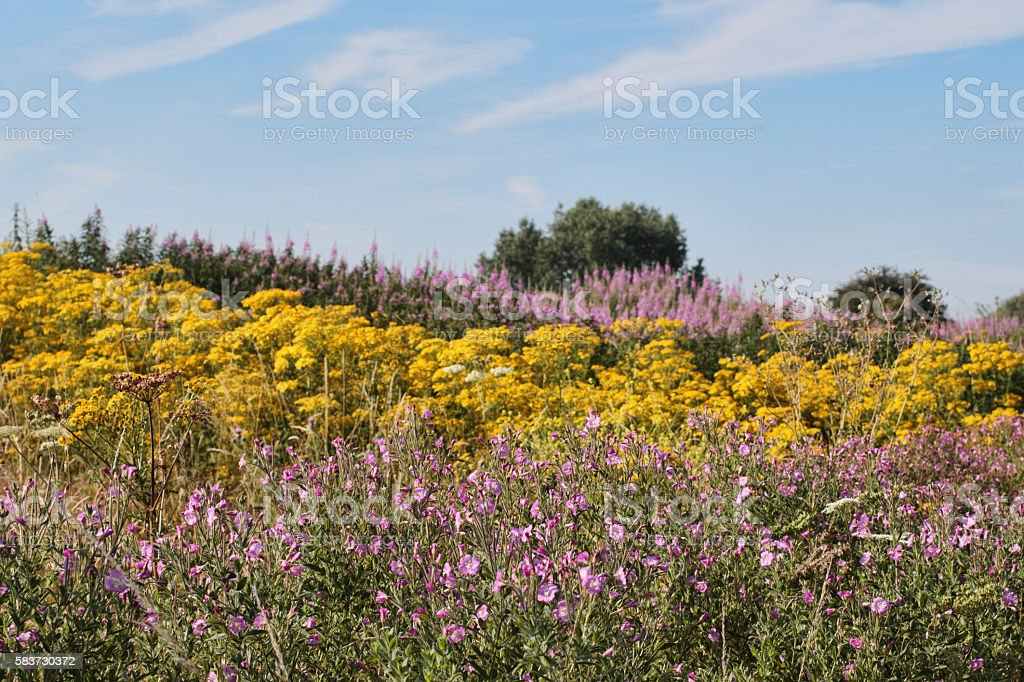 Mitcham Common summer flower field symphony in yellow and pink stock photo