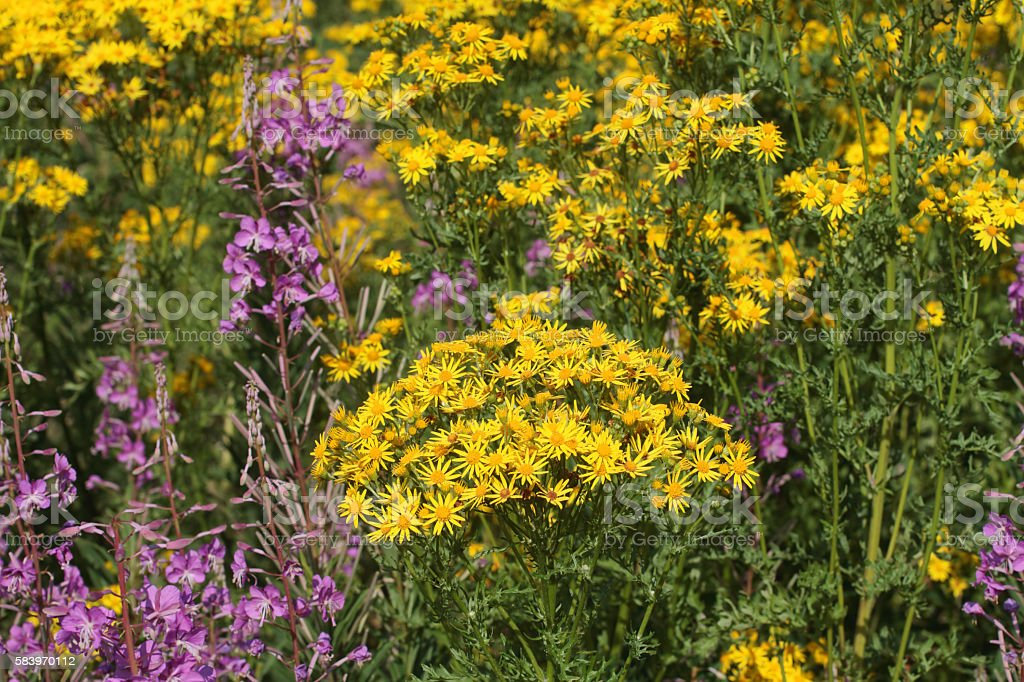 Yellow flower meadow floral symphony Mitcham Common stock photo