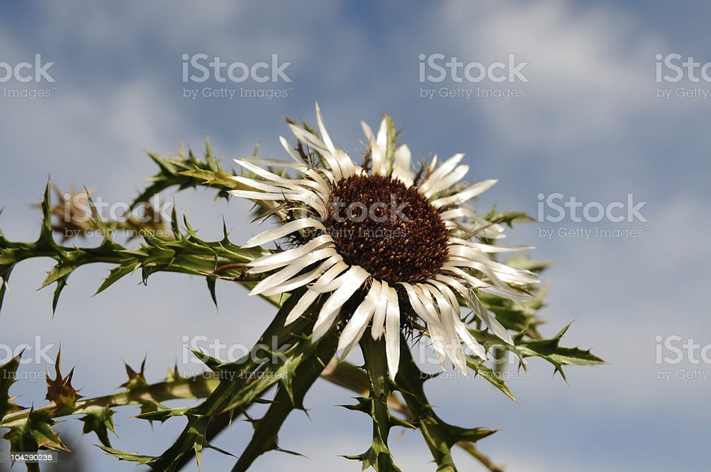 thistle against sky royalty-free stock photo
