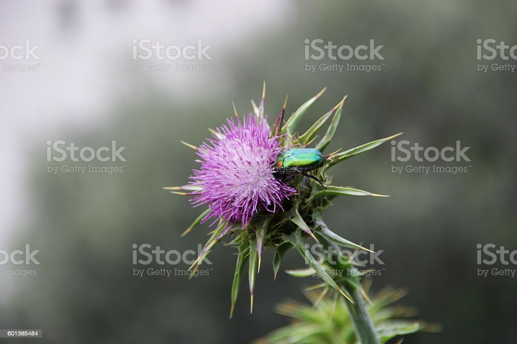 Thistle and beetle stock photo