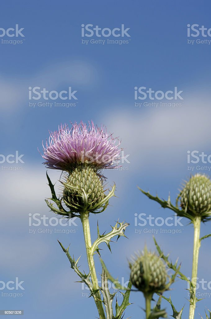 thistle and blue sky royalty-free stock photo