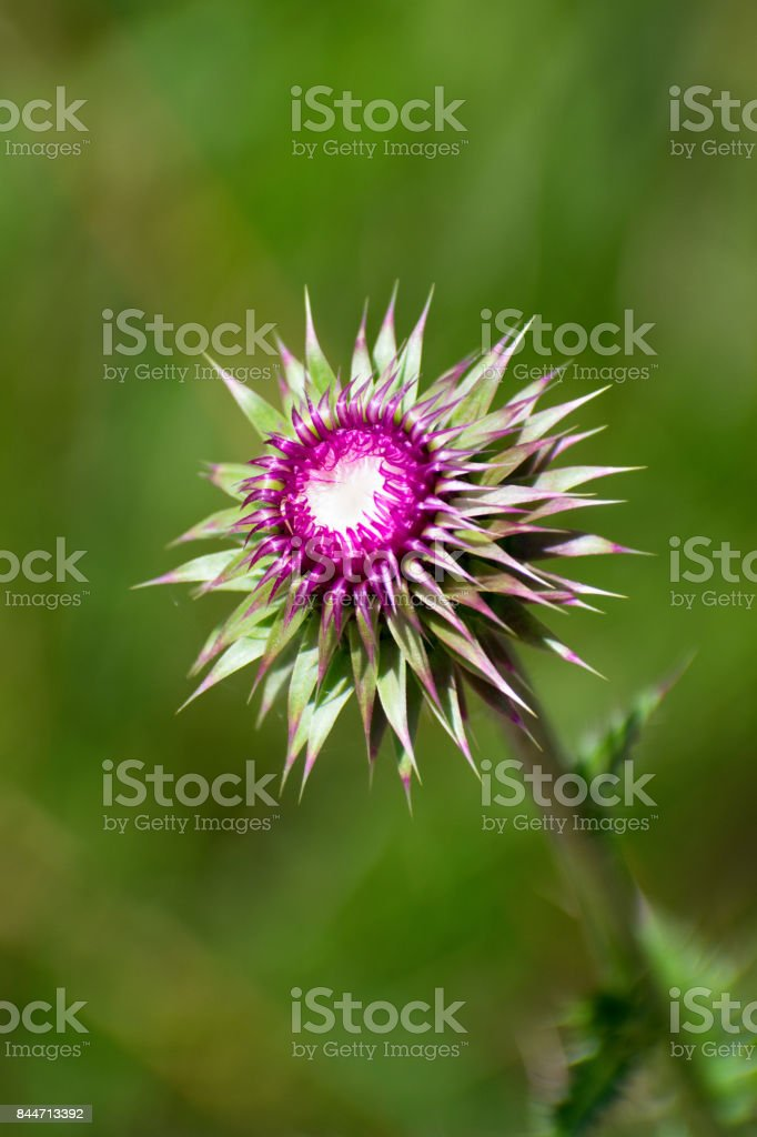 Thistle Bloom stock photo
