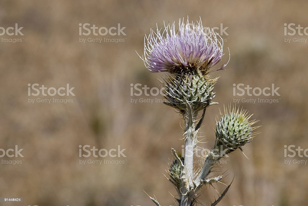 Thistle Bloom royalty-free stock photo