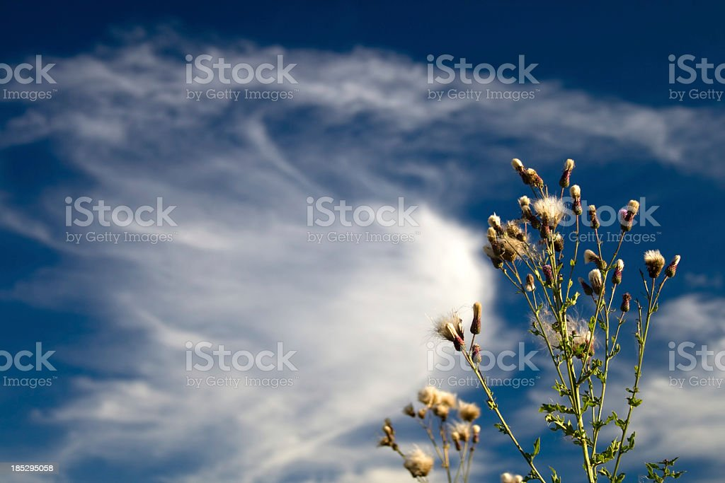 Thistle branch royalty-free stock photo