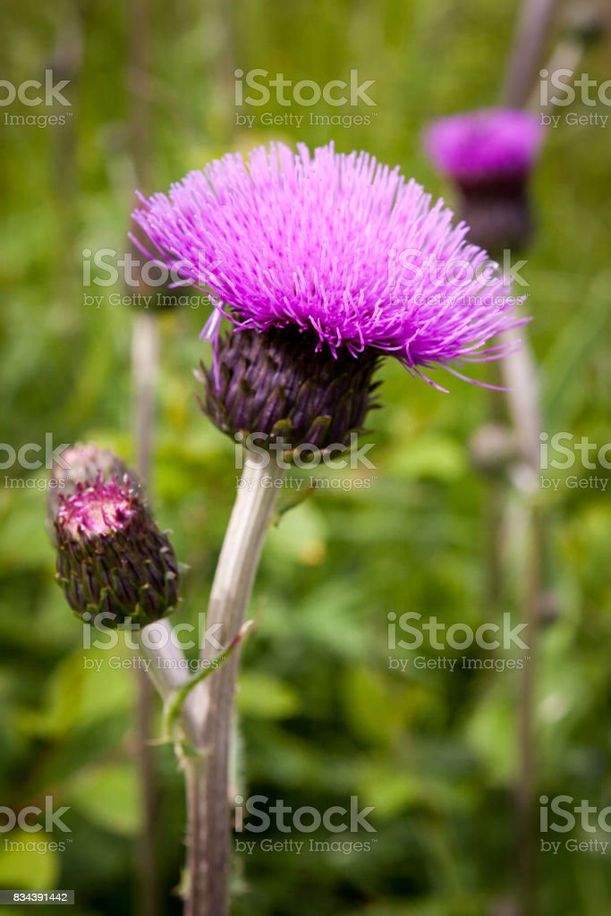 Thistle buds and flowers on a summer field. Thistle plant is the symbol of Scotland. stock photo