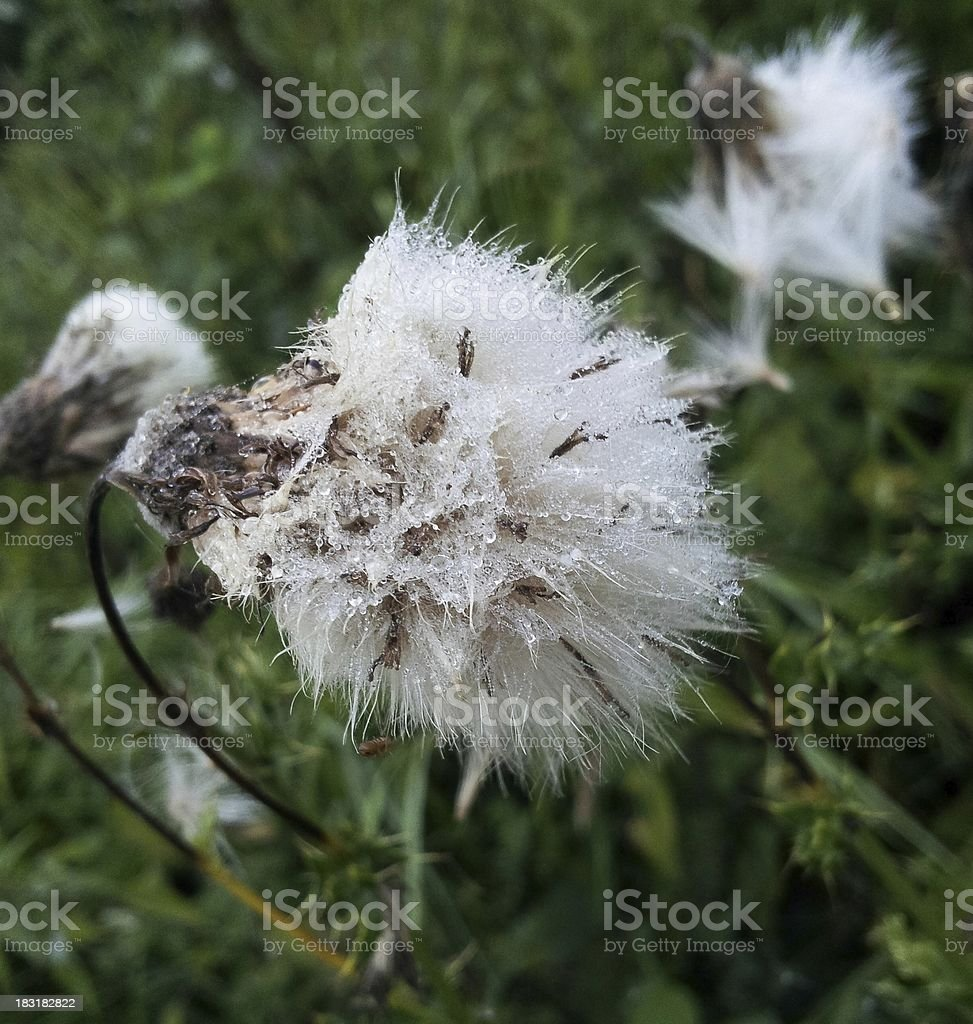 Thistle covered in ice going to seed royalty-free stock photo