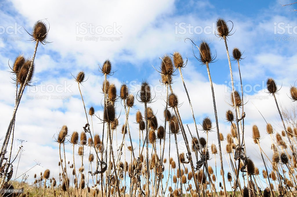 thistle dried stock photo