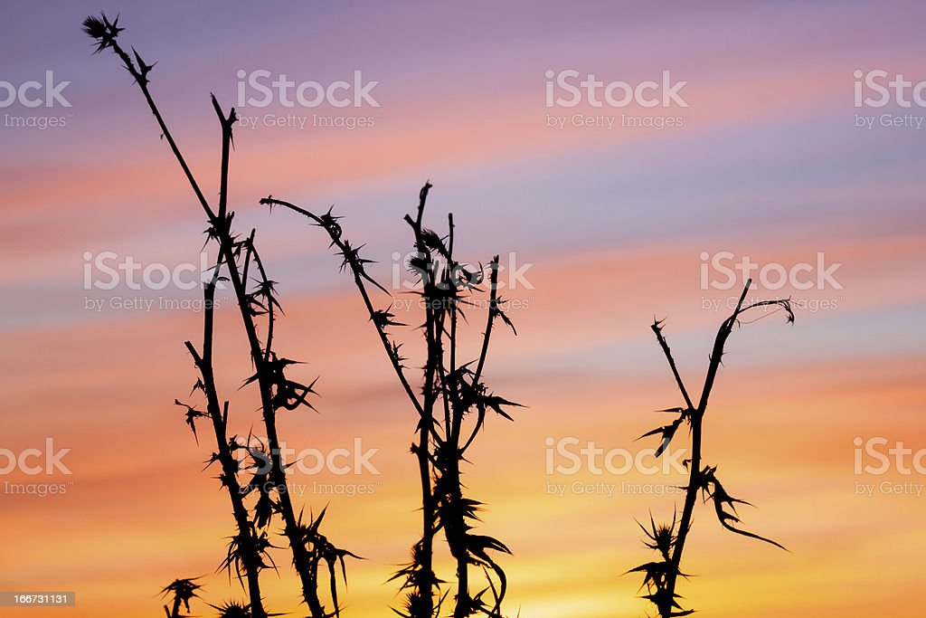 thistle, dry grass, nature background royalty-free stock photo