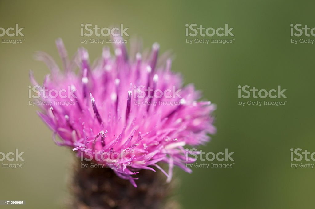 Thistle flower close-up royalty-free stock photo
