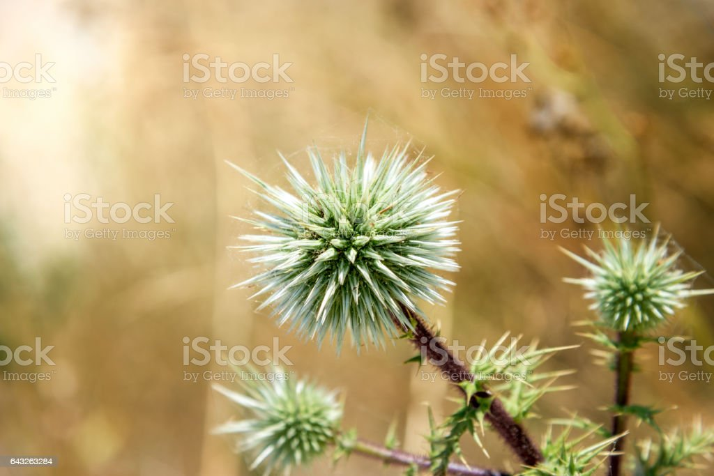 thistle flower in the sun. stock photo