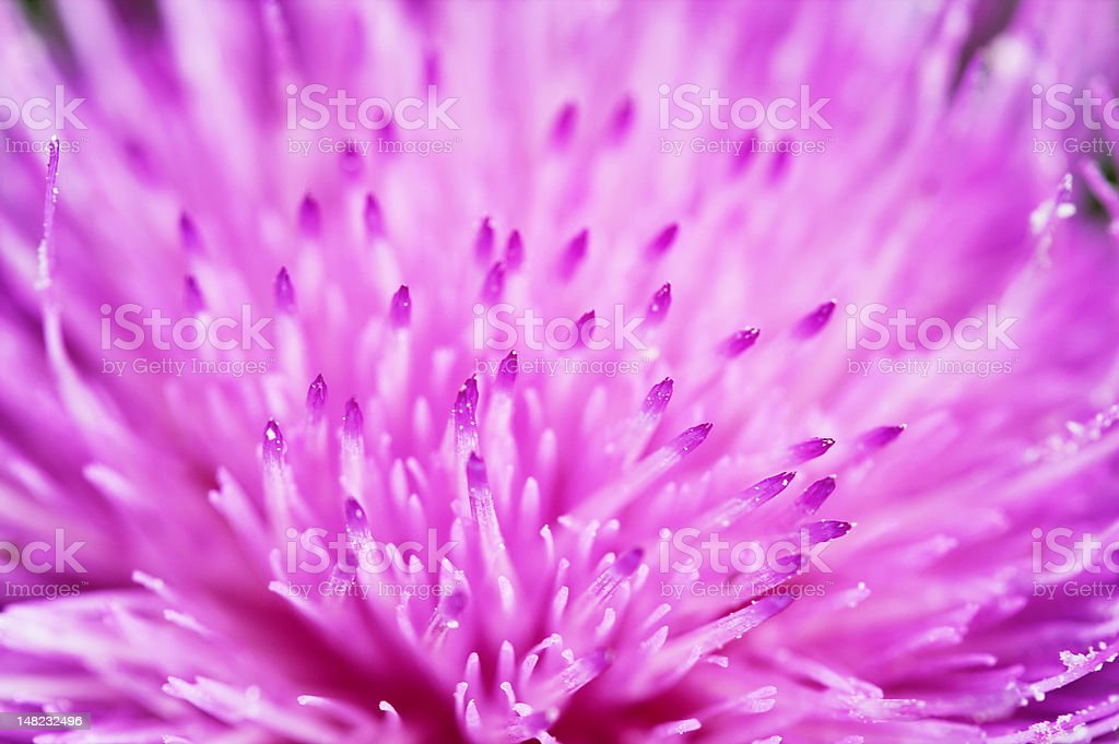 Thistle Flower up Close royalty-free stock photo