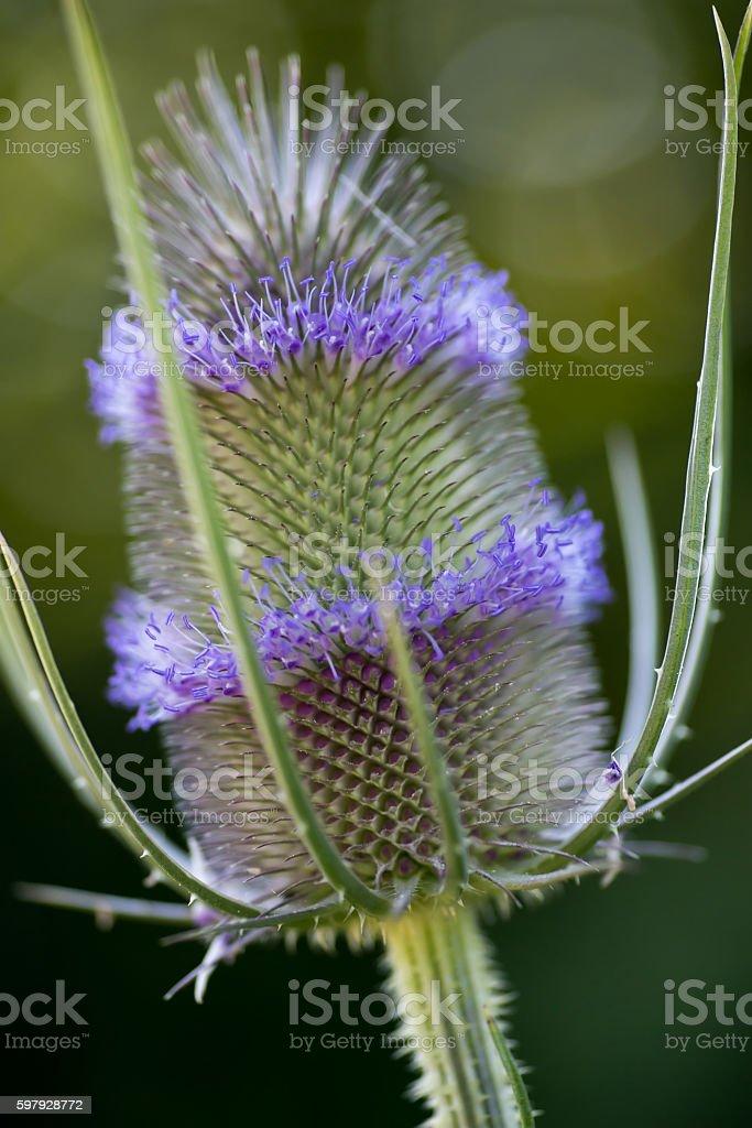 Thistle Flowering Macro stock photo