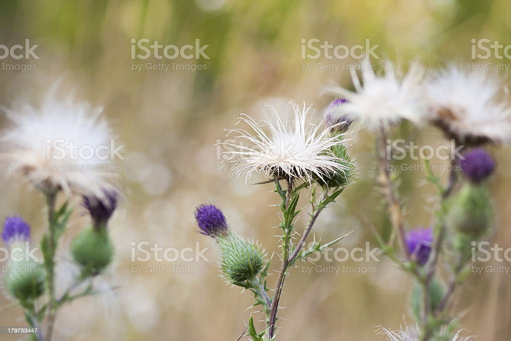 Thistle flowers group royalty-free stock photo