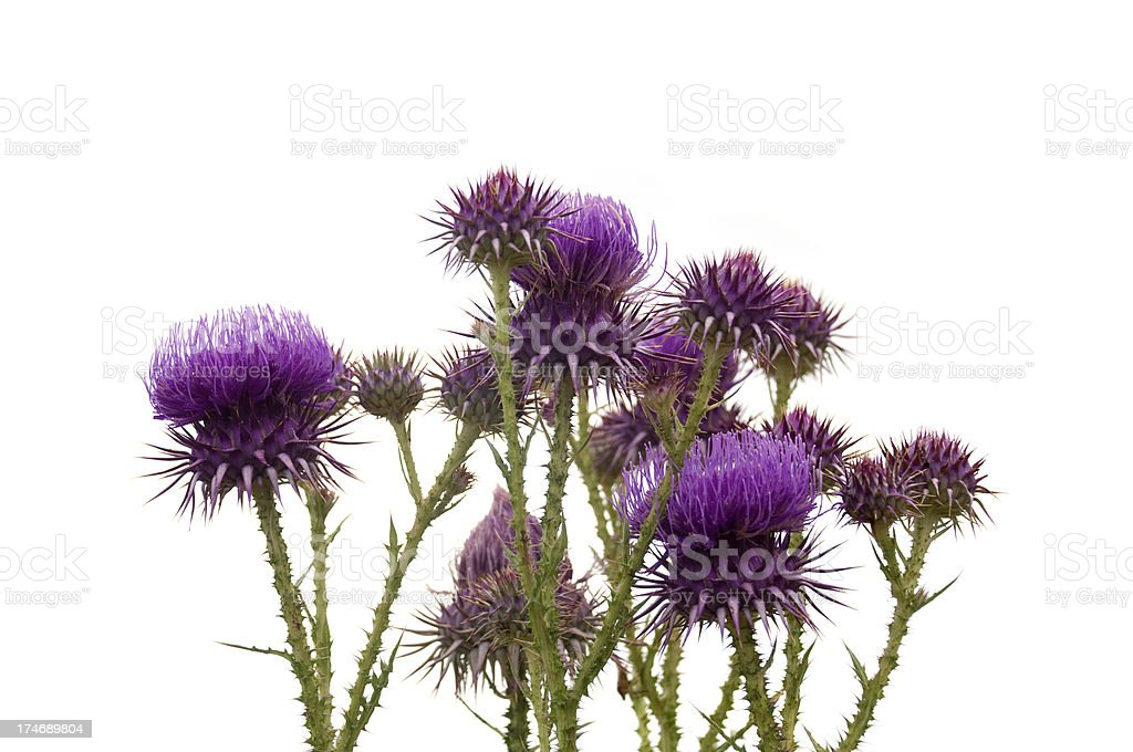 Thistle flowers royalty-free stock photo