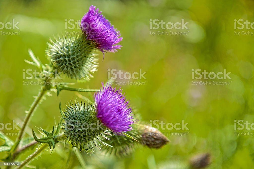 thistle flowers scottish symbol stock photo