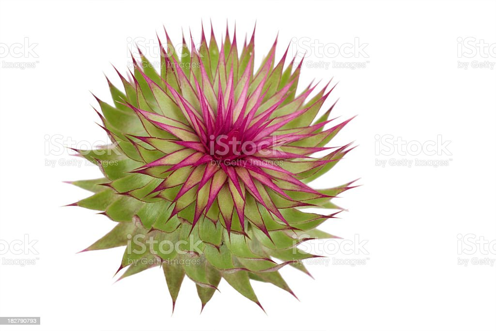 Thistle head royalty-free stock photo